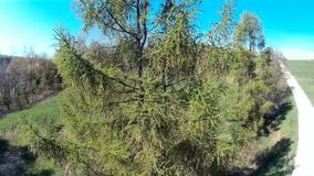 Larch tree. Aerial view by copter stock video