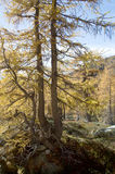 Larch tree in alpine forest. In fall foliage on sunny day Royalty Free Stock Photo
