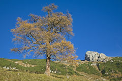 Larch tree in autumn Stock Photo