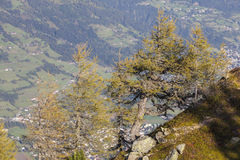 Larch tree in autumn Stock Photography