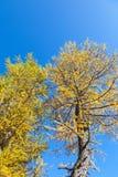 Larch tree Stock Photo