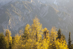 Larch tree in autumn Stock Image