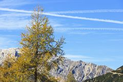 Larch tree Royalty Free Stock Photos