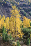 Larch tree Royalty Free Stock Images