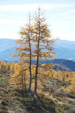 Larch tree in autumn royalty free stock photo