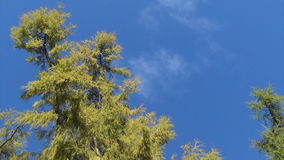 Larch tree autumn sky stock video