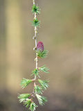 Larch Tree Branch Stock Photography