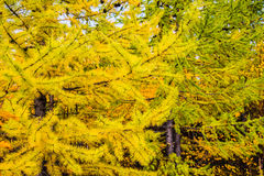 Larch tree branch Royalty Free Stock Image