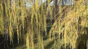 Larch tree branch autumn stock footage