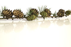 Larch tree branch and cones Stock Photos