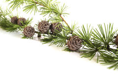 Larch tree branch and cones Royalty Free Stock Photos