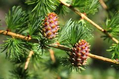 Larch tree branch with cones Stock Images