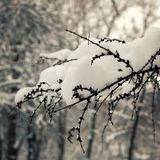 Larch tree branch covered with snow. Close up. Stock Photos