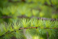 Larch tree branch Stock Images