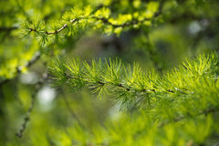Larch tree branch Royalty Free Stock Photos