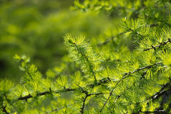 Larch tree branch Stock Photo