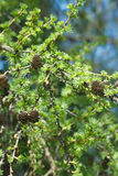 Larch tree branches with cones in spring Stock Photos