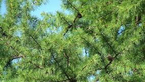 Larch tree. Close view of larch tree weaving by the wind stock video