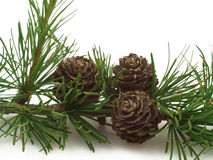 Larch tree cones on a branch Royalty Free Stock Images