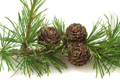 Larch Tree Cones On A Branch Royalty Free Stock Photography