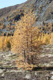Larch tree in fall foliage. In alpine forest on hillside Royalty Free Stock Images