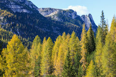 Larch tree forest Royalty Free Stock Photography
