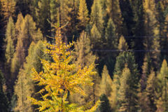 Larch tree forest Stock Photo