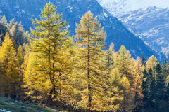 Larch tree forest Royalty Free Stock Photos