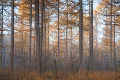 Larch tree forest in autumn Stock Photos