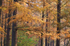 Larch tree forest in autumn Stock Photo