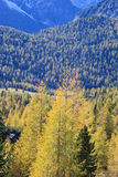 Larch tree forest Stock Image
