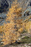Larch tree glowing in Autumn sunshine Stock Images