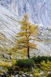 Larch tree. Hike from Vršič to the beautiful Slemenova Špica in Juian Alps Stock Photography