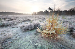 Larch tree in morning frost Stock Images