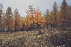 Larch tree Stock Photography