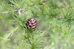 Larch tree. Pine tree Royalty Free Stock Image