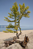 Larch tree and roots on sand, coast of Baikal lake Royalty Free Stock Image