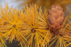 Larch tree with strobile Royalty Free Stock Image