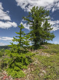 Larch Tree in the Ural Mountains. Royalty Free Stock Photos