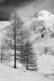 Larch tree in winter landscape b&w with red filter Royalty Free Stock Photo