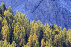 Larch tree woods Royalty Free Stock Photo