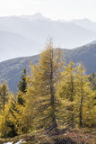 Larch trees in autumn colors Royalty Free Stock Photo