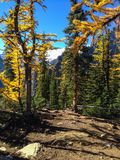 Larch Trees in Banff NP. Larch Trees on Little Beehive in Banff NP, Alberta, Canada stock photo