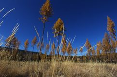 Larch trees in fall Royalty Free Stock Image