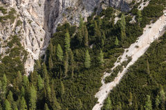 Larch trees growing on steep slope Royalty Free Stock Photos