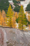 Larch trees on mountainside. Colorful larch trees on steep mountainside stock photo