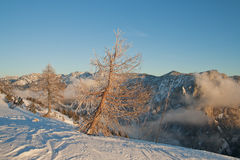 Larch trees and Trisselwand mountain Stock Image