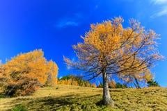 Larch trees turning orange during Autumn Season Royalty Free Stock Images