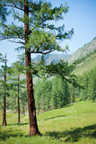 Larch. Trekking in the Altai Mountains Royalty Free Stock Photo
