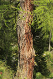 Larch trunk Royalty Free Stock Photo